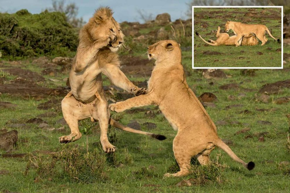 Lion ends up with wounded pride after wrestling match with feisty lioness