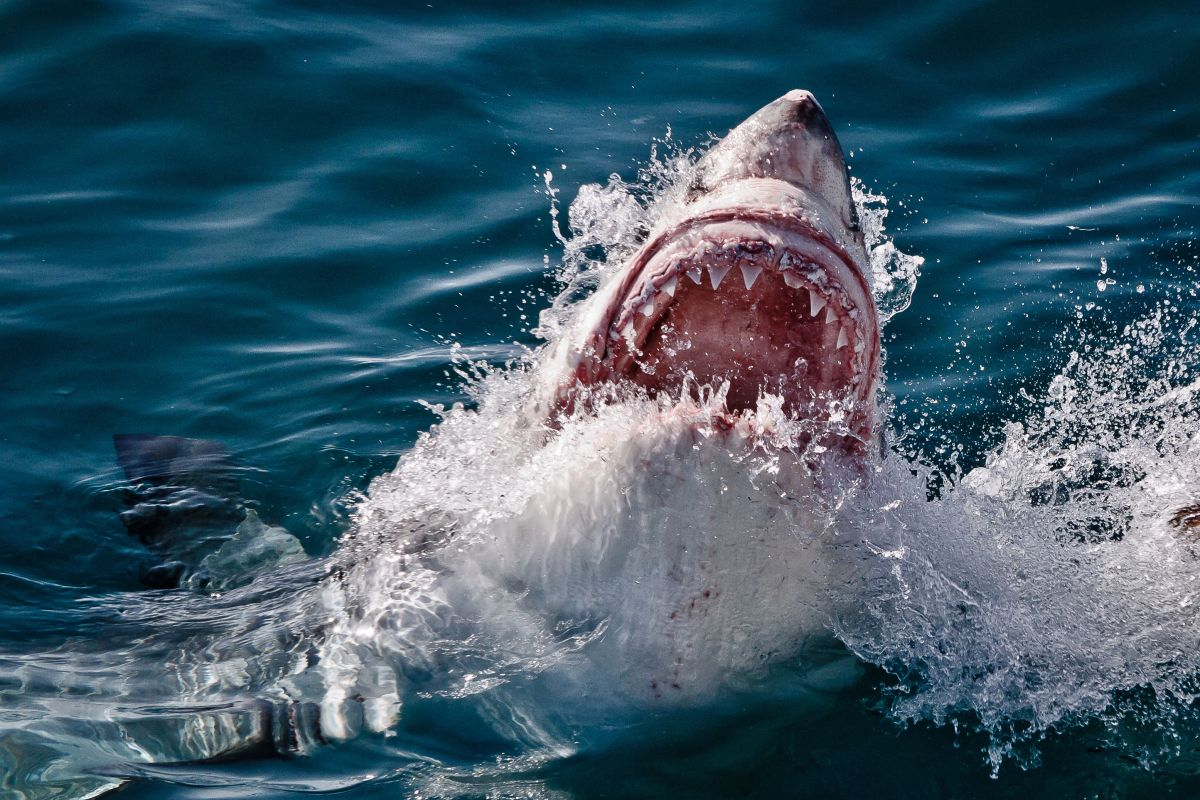 Terrifying moment great white shark leaps from water with teeth glistening in the sun captured by brave Brit