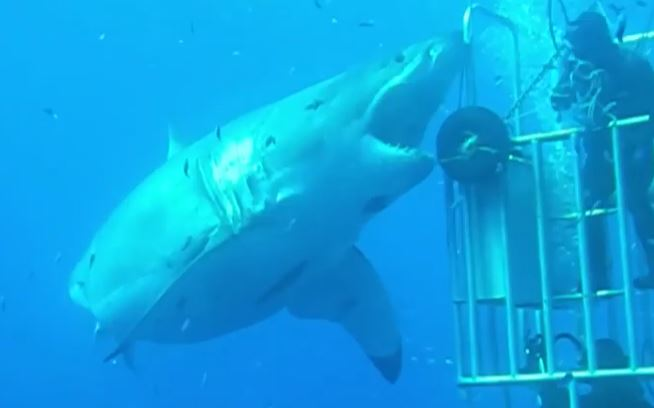Moment 'one of world's biggest' great white sharks sinks teeth into cage as 22ft monster attacks thrillseeking divers