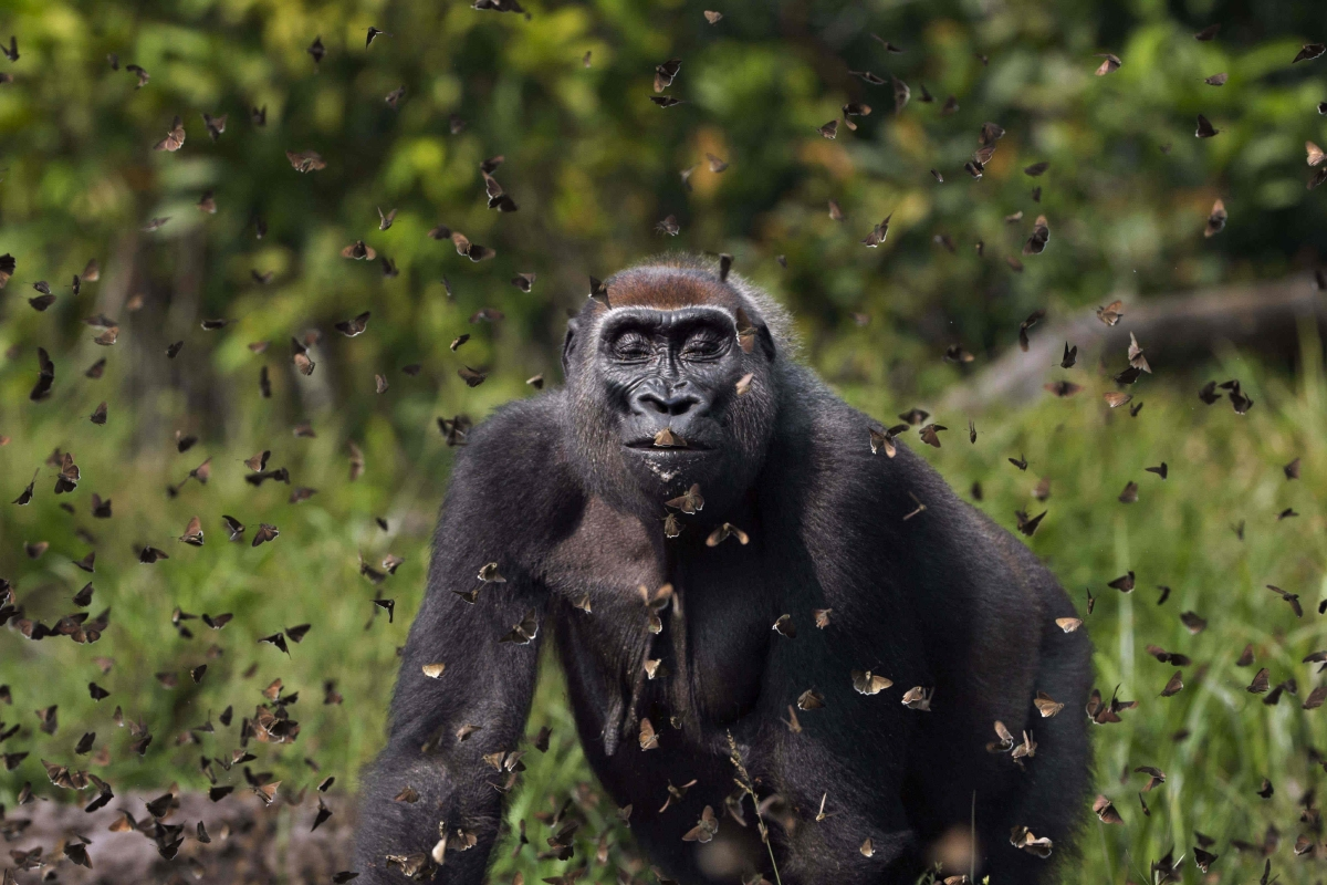 Stunning shot of gorilla surrounded by butterflies wins photography contest